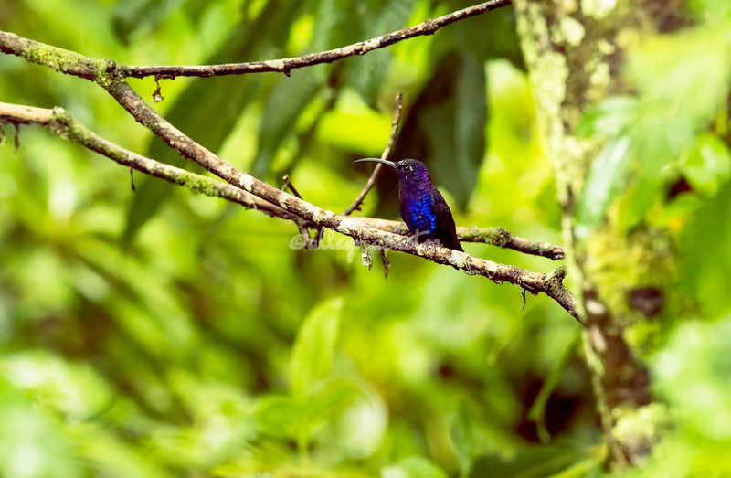 Violet Sabrewing Hummingbird, Costa Rica