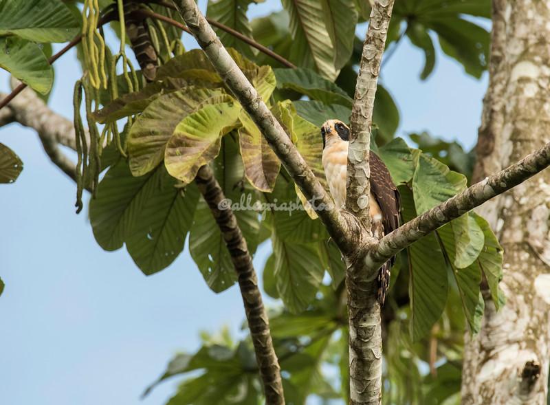Laughing Falcon, Costa Rica