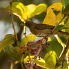 Clay colored thrush eating berries