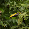 Chestnut mandible Toucan, Costa Rica
