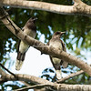 Brown Jays