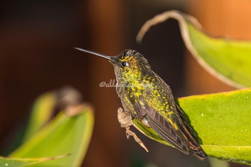 Steely Vented Hummingbird, Costa Rica