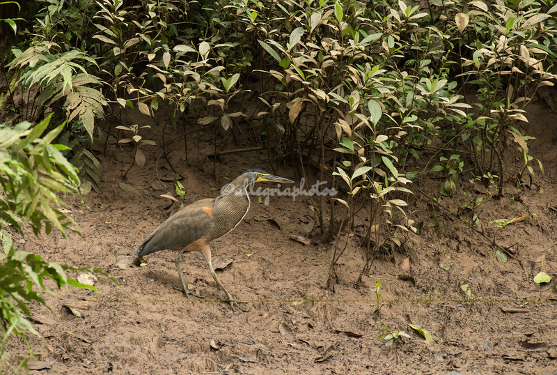 Bare throated Tiger Heron, Costa Rica
