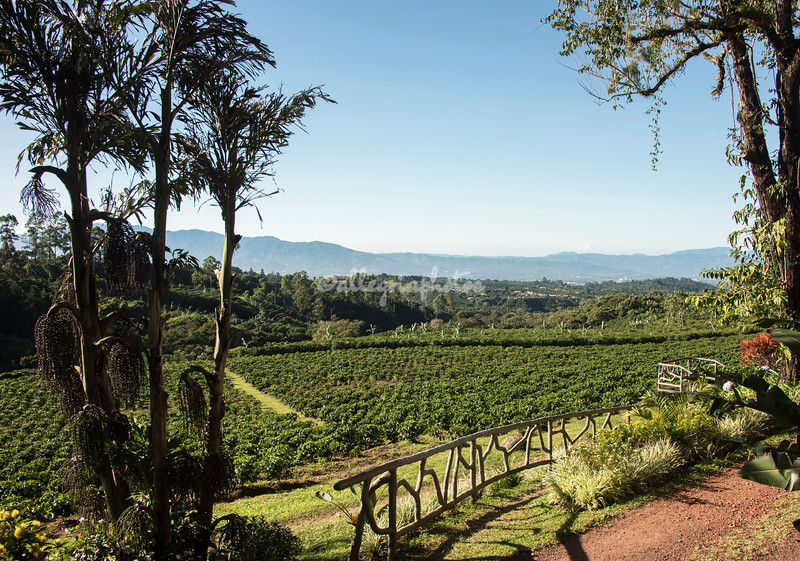 Coffee plantation near Cartago, Costa Rica