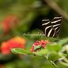 Zebra Longwinged butterfly