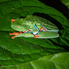 A pair of red-eyed tree frogs