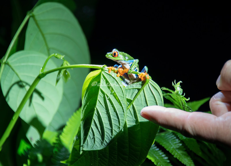 A tiny red-eyed tree frog
