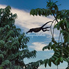 Howler monkey jumping between trees, Costa Rica