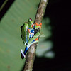 A pair of red-eyed tree frogs on a twig