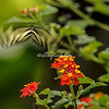 Zebra Long Winged Butterfly in flight