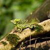 Emerald Basilisk, Costa Rica