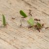 Leaf cutter ants, Sarapiqui, Costa Rica