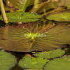 Lily Pad after the rain