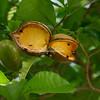 Milky Way tree also known as Huevos de Caballo (Eggs of a Horse tree)