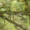 Green Kingfisher, Costa Rica