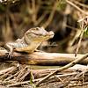 Crocodile on the Riverbank, Costa Rica