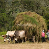 Ox cart loaded with hay, Costa Rica