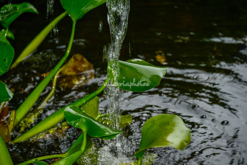 Lily leaves and water