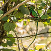 Magnificent Male Quetzal