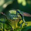 Violet earred hummingbird