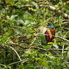 Slaty-tailed Trojan, Costa Rica