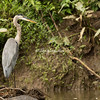 Great Blue Heron, Costa Rica