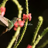 Rufous-tailed hummingbird, Costa Rica
