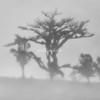 Ghost trees in the fog, Sarapiqui, Costa Rica