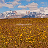 A field of buttercups in the Torres del Paine National park, Patagonia, Chile