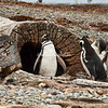 A group of Magellanic penguins in their tree-trunk burrow on the Otway Sound near Punta Arenas, Patagonia, Chile.