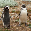 A pair of Magellanic penguins on the Otway Sound near Punta Arenas, Patagonia, Chile.