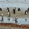 A group of Magellanic penguins crossing the sandbar on the Otway Sound near Punta Arenas, Patagonia, Chile