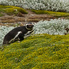 A Magellanic penguin on the Otway Sound near Punta Arenas, Patagonia, Chile.