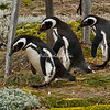 A group of Magellanic penguins crossing under a fence on their way to their burrow near the Otway Sound, Punta Arenas, Patagonia, Chile