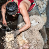 Sheep shearing, Torres del Paine, Patagonia, Chile
