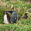 An adult Magellanic penguin with two adolescents near their burrow, Otway Sound, Punta Arenas, Patagonia, Chile