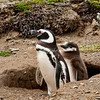 Magellanic penguin and chick, Otway Sound, Punta Arenas, Patagonia, Chile