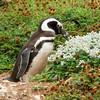 A Magellanic penguin near its burrow on the Otway Sound near Punta Arenas, Patagonia, Chile