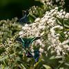 Urainia Moth - near Rio Claro