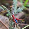 Grasshopper - Las Tangaras