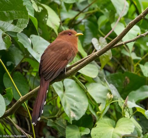 Little Cuckoo (Coccycua minuta) - near Santa Maria