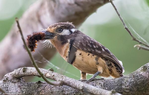 Russet-throated Puffbird (Hypnelus ruficollis) - near Rio Claro