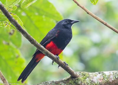 Red-bellied Grackle (Hypopyrrhus pyrohypogaster - ENDEMIC) - Medellin
