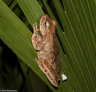 Tree Frog - near Rio Claro