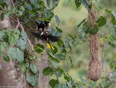 Chestnut-headed Oropendola (Psarocolius wagleri) - near Rio Claro