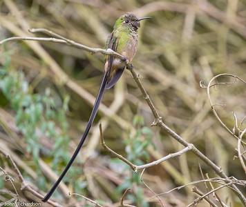 Black-tailed Trainbearer (Lesbia victoriae) - Observatorio de Colibries