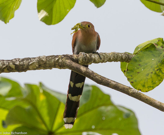 Squirrel Cuckoo (Piaya cayana) - near Rio Claro
