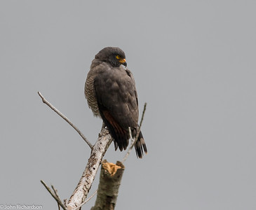 Roadside Hawk (Buteo magnirostris) - Santa Maria