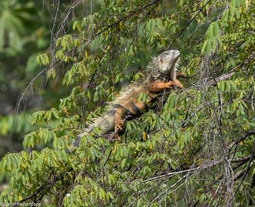 Green Iguana (Iguana iguana) - near Rio Claro