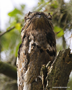 Common Potoo in Alvaro's garden